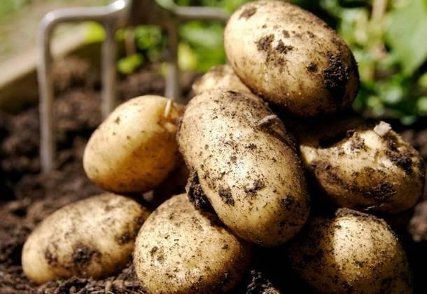 Как подготовить и посадить семена картофеля?