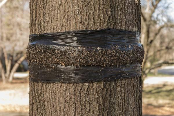 Ловчие пояса для деревьев: польза и вред