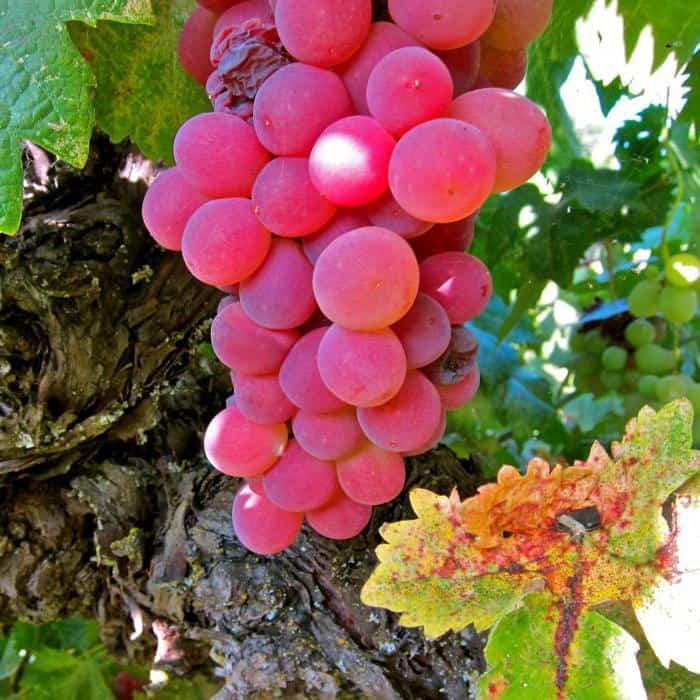 Особенности и основные характеристики винограда сорта гелиос