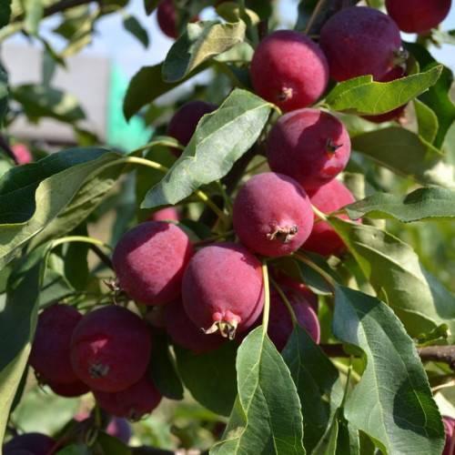 Сорт яблони китайка золотая ранняя: описание и фото, характеристики и особенности