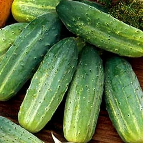 Об огурце алтай: описание сорта, характеристики, технология выращивания
