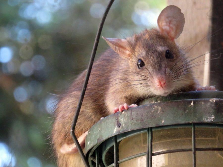 Как избавиться от крыс в сарае или гараже