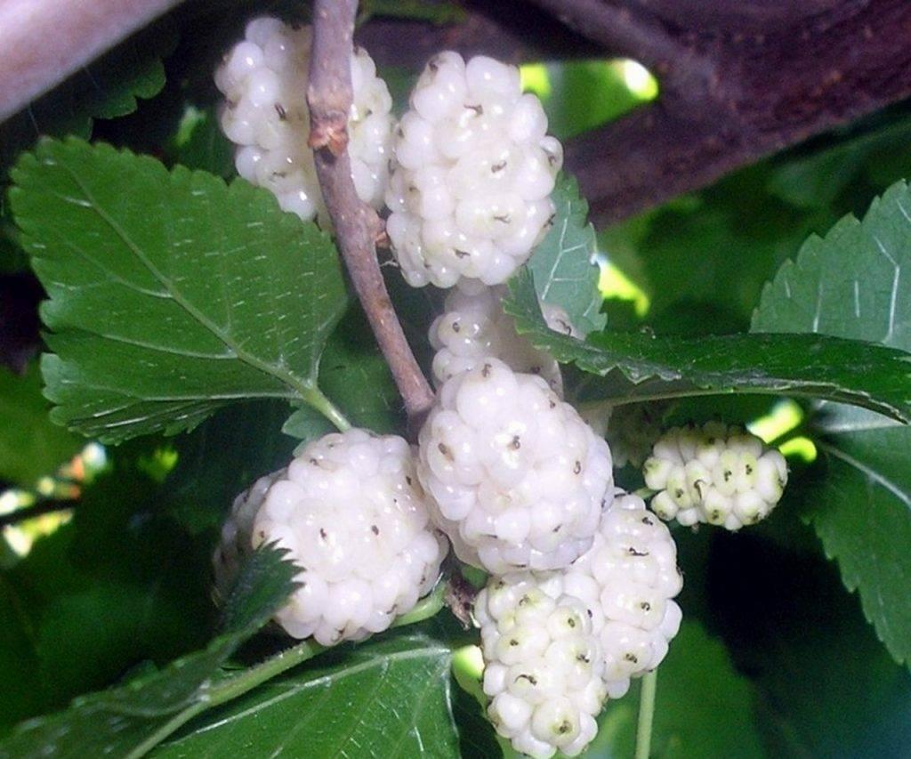 Секреты выращивания шелковицы