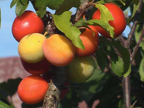 О скороплодной сливе: описание и характеристика сорта, особенности