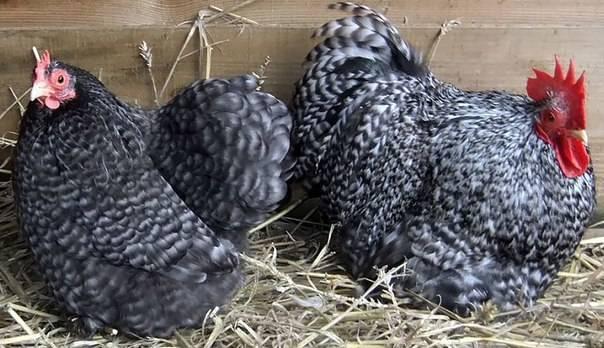 Цыплята кохинхин: фото, особенности породы, каким должен быть вес месячного птенца и что известно о выращивании?