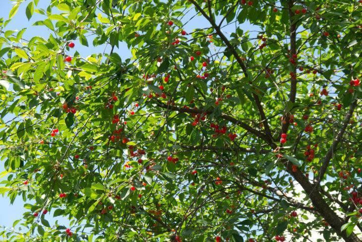 Уход за вишней осенью – 5 самых важных правил