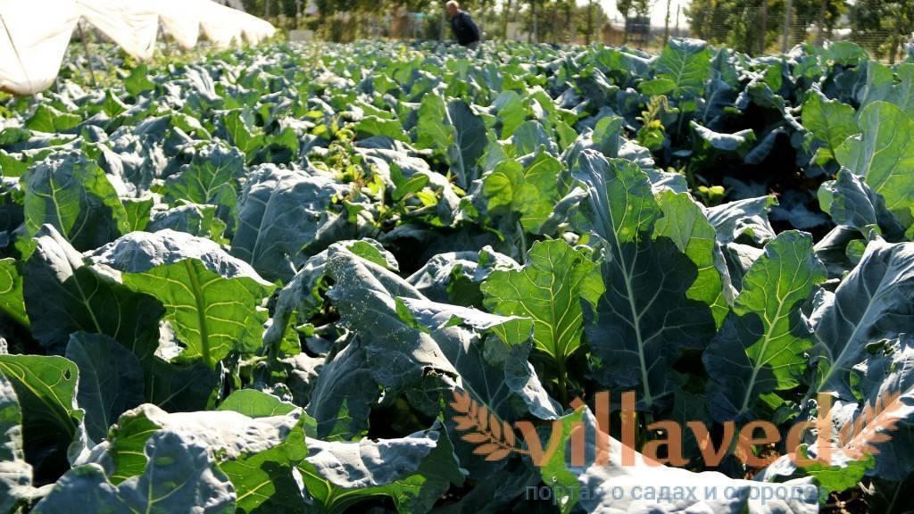 На какую глубину сажать рассаду капусты