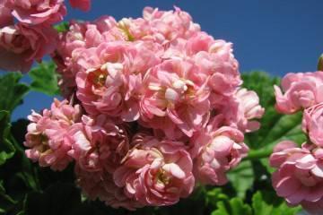 Пеларгония pac viva rosita