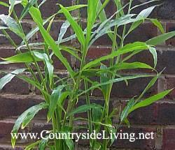 Имбирь: выращивание в домашних условиях, посадка и уход, размножение