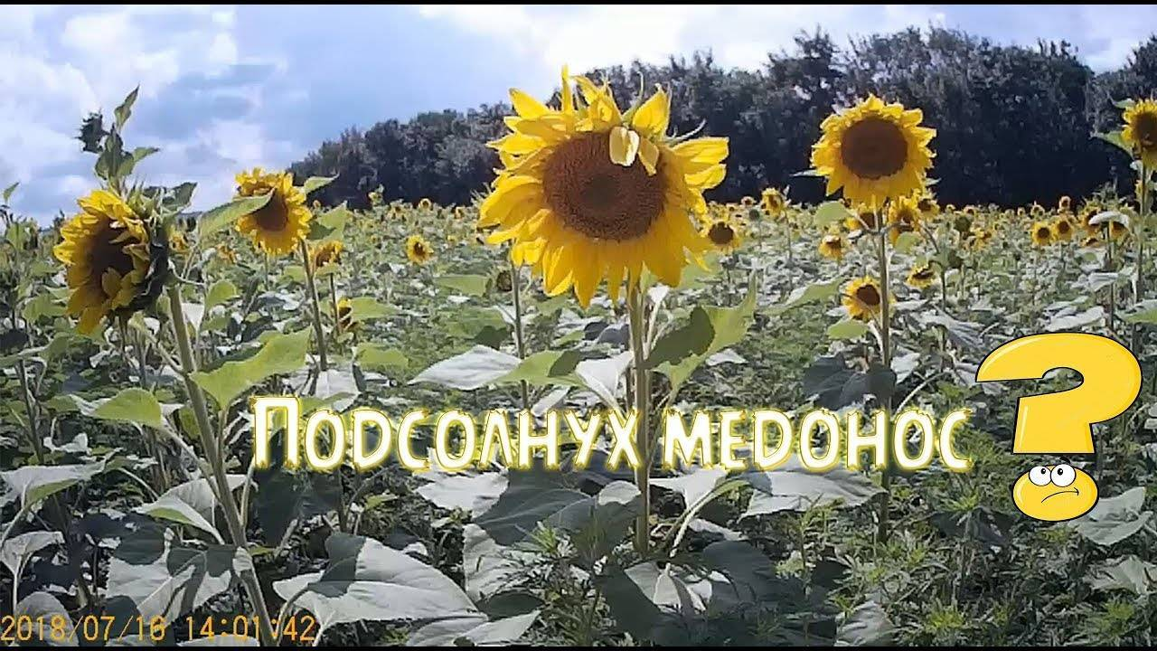 Медоносные растения: однолетние и многолетние