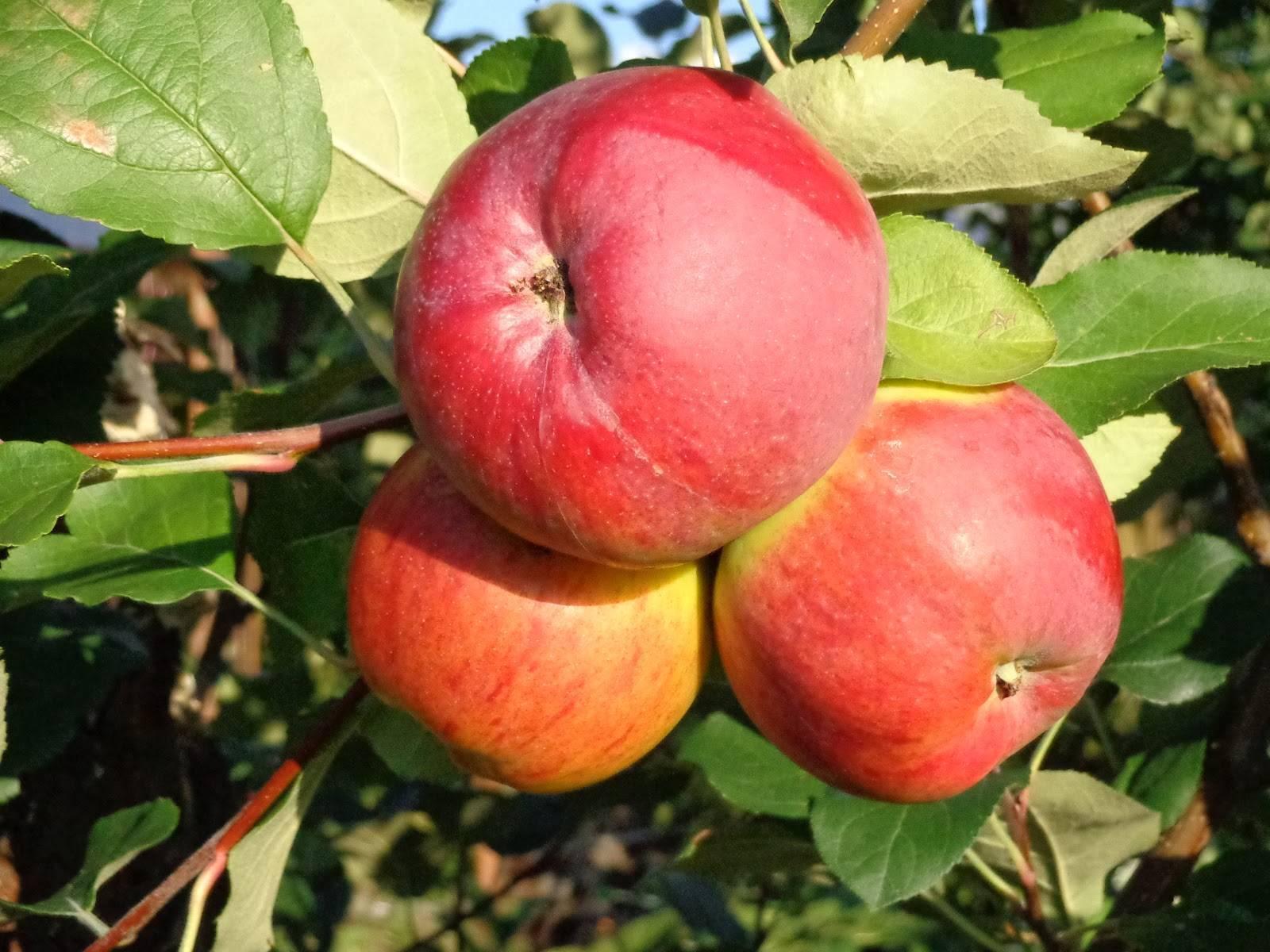 Сорт яблони витязь: характеристика и особенности выращивания
