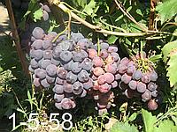 Кардинал - сорт винограда
