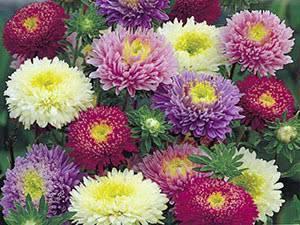 О цветке астра (как выглядят помпонные, пионовидные, садовые астры)