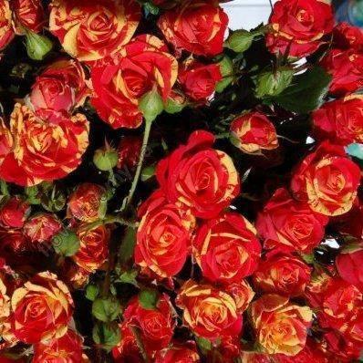 Описание сортов розы спрей, посадка и уход в открытом грунте для новичков