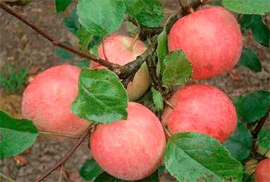 Услада яблоня