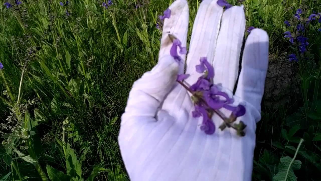 Лекарственные травы – когда собирать и как правильно сушить