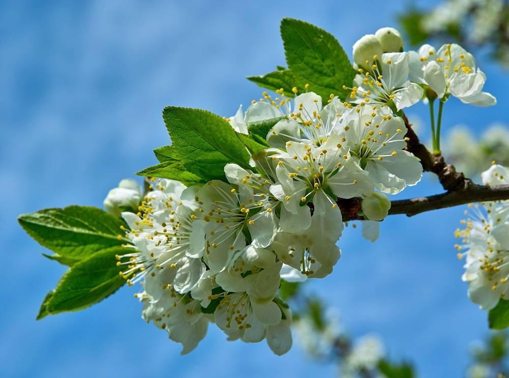 Правила и особенности весенней подкормки сливы