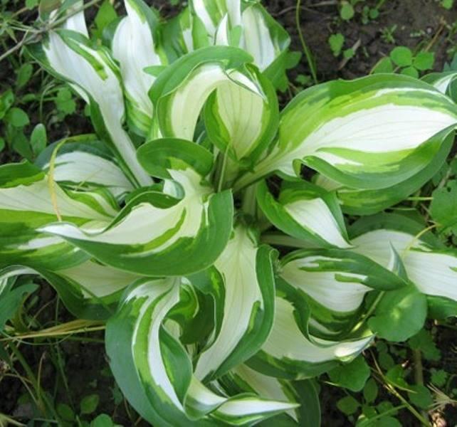 Хоста волнистая «медиовариегата» (24 фото): описание undulata mediovariegata, посадка и уход