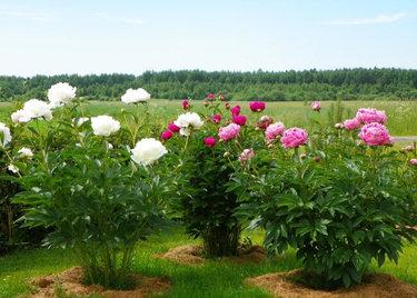 Великолепные пионы: выращивание и уход в открытом грунте