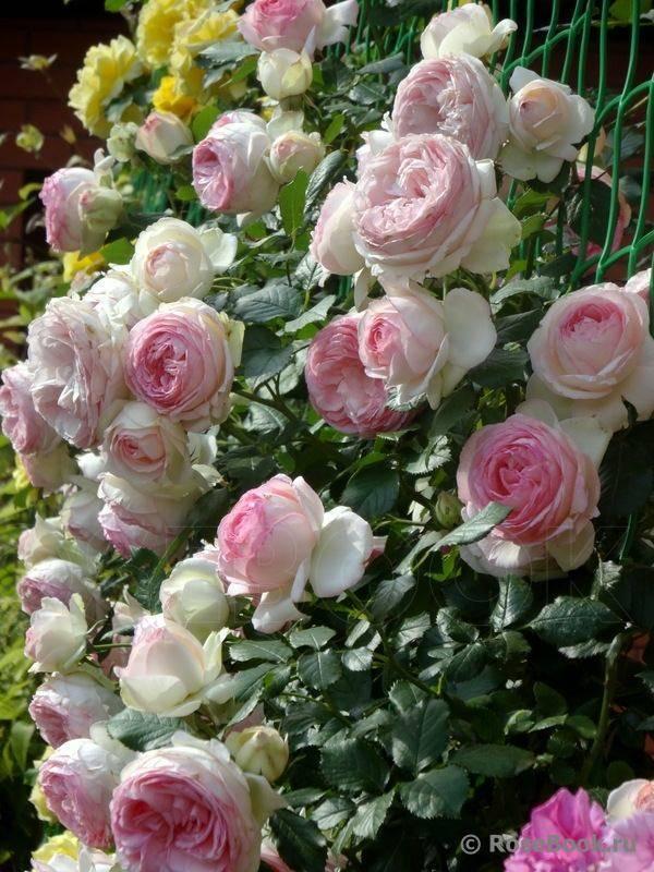 О розе оливия роуз (olivia rose): описание и характеристики сорта роз остина