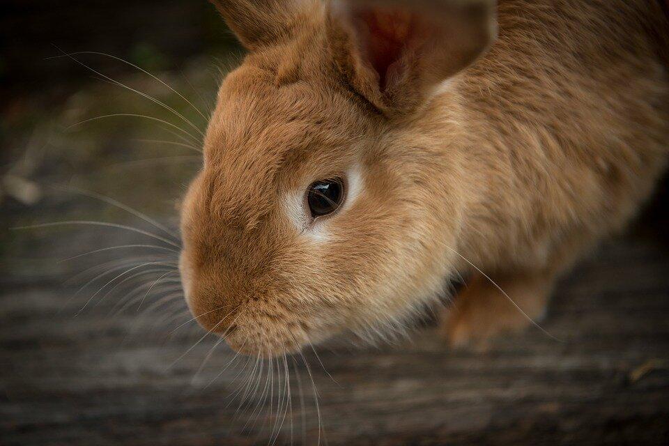 Инструкция по профилактике и ликвидации вирусной геморрагической болезни кроликов (вгбк) (утв. государственным агропромышленным комитетом ссср 14 января 1988 г. n 432-3)