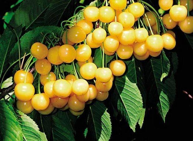 Выращивание черешни россошанская золотая - общая информация - 2020