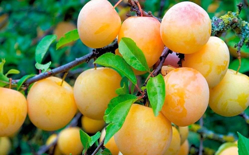 Сорта сливы: описание, урожайность и особенности выращивания