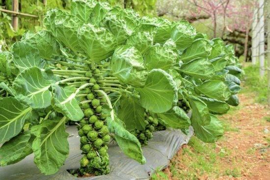Капуста брюссельская: выращивание, посадка и уход - моя дача - информационный сайт для дачников, садоводов и огородников