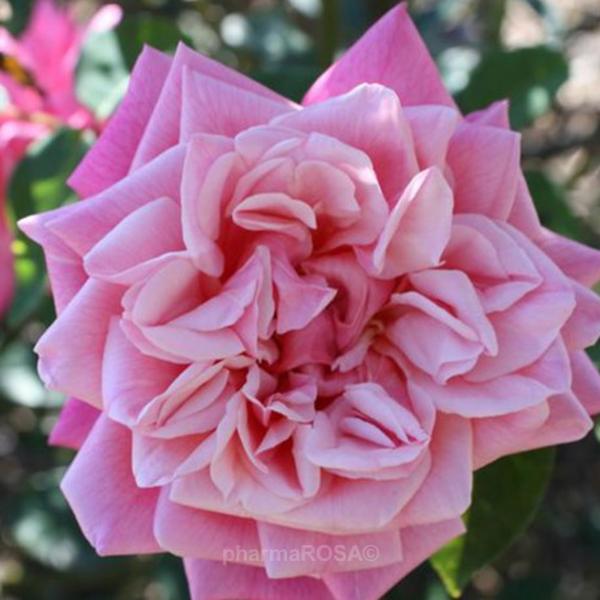 О розе плетистой рамблер (rambler): описание сортов the albrighton , кримсон