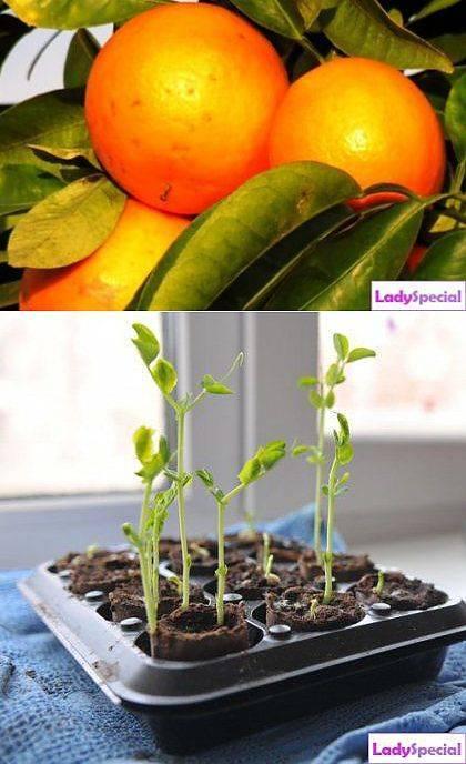 Выращиваем яблоню из семечка в домашних условиях – практическое руководство
