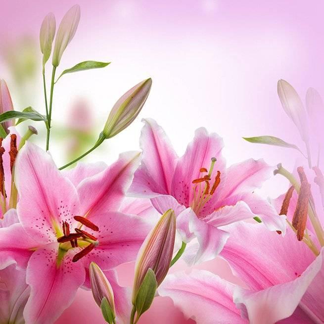 Лилии осенью: правила посадки, пересадки и ухода за изысканными цветами