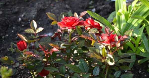 Комнатные розы: выращивание, уход, размножение