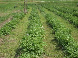 Сидераты для картофеля: выбор и особенности посадки