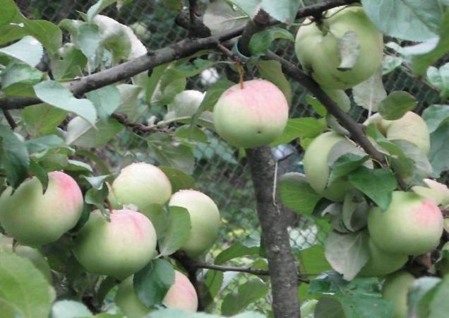 Яблоки, идеальные для приготовления джема — сорт орловим