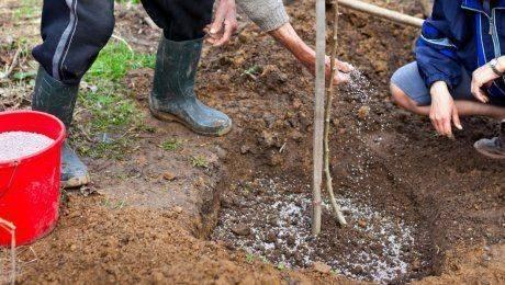 Подкормка груши осенью —залог урожайности на будущий год