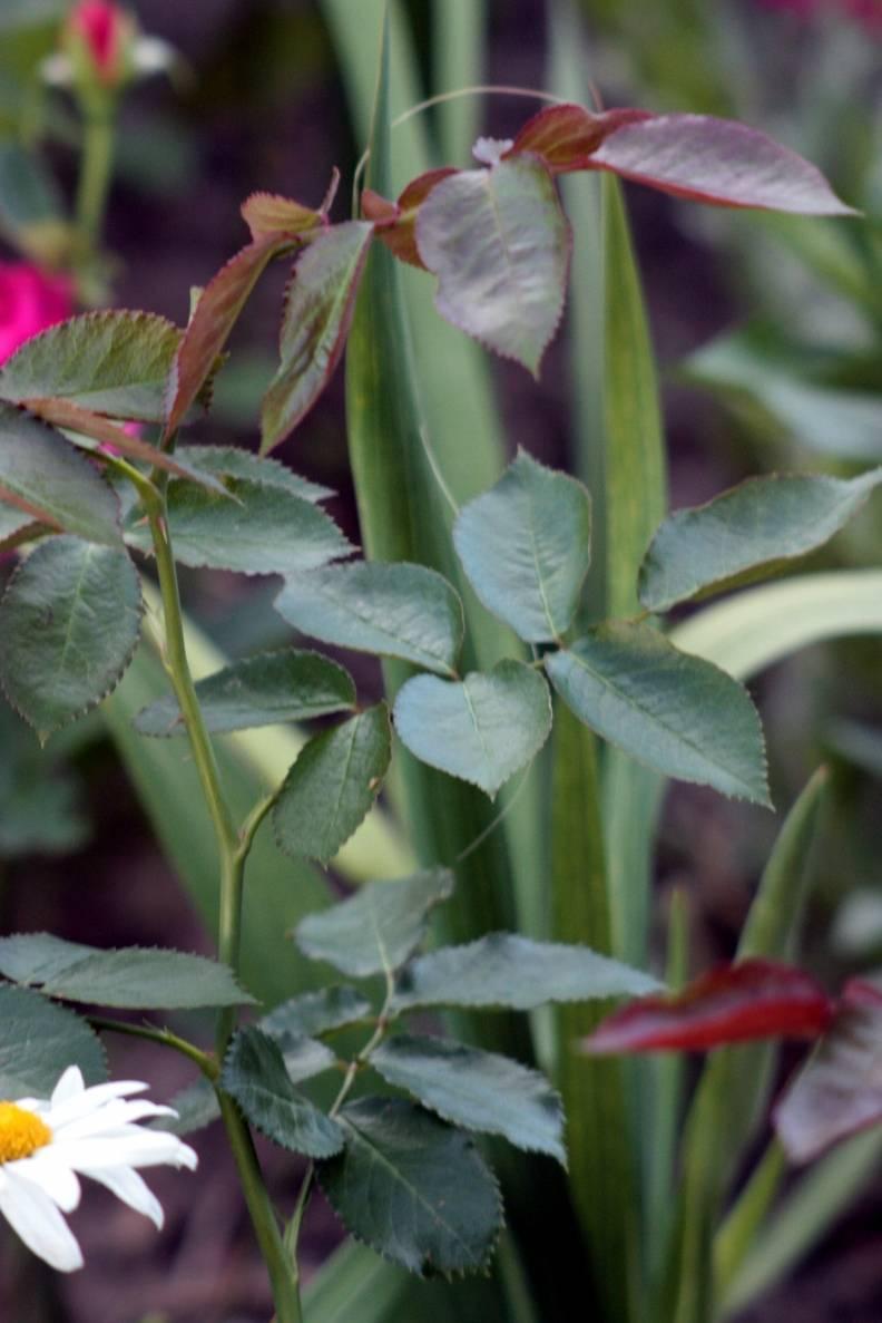 Розы: формирование кустов, обрезка, удаление поросли