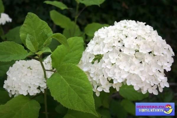 О сорте гортензии Unique: описание сорта, как посадить и ухаживать