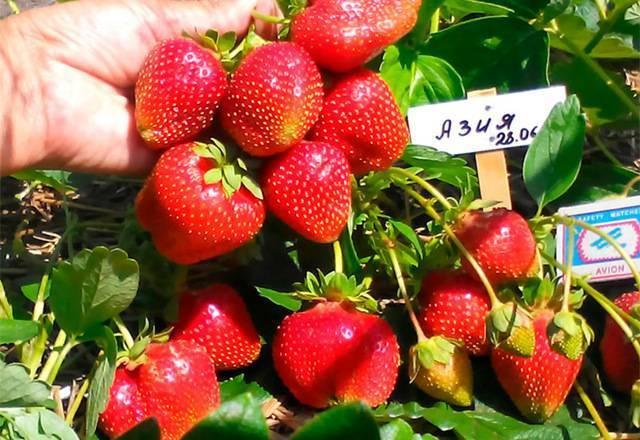 Особенности и правильное выращивание клубники сорта азия