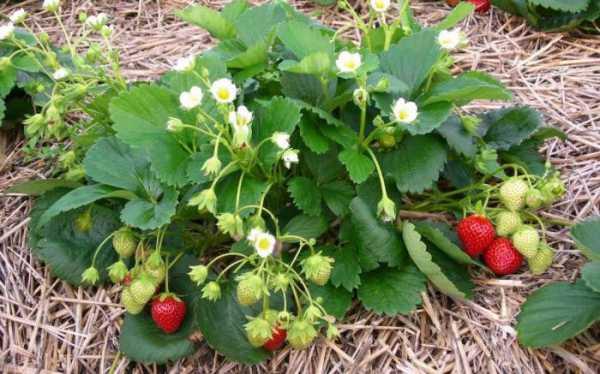 Клубника мице шиндлер: отзывы садоводов и описание сорта