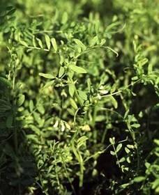 О выращивании чечевицы: посадка и возделывание культуры, агротехника
