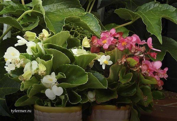 Как ухаживать за бегонией в горшке после покупки: особенности выращивания цветка в домашних условиях