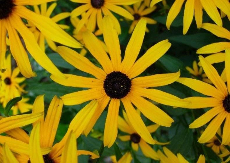 Черноглазая сюзанна рудбекия: сорта, выращивание из семян, посадка и уход - общая информация - 2020