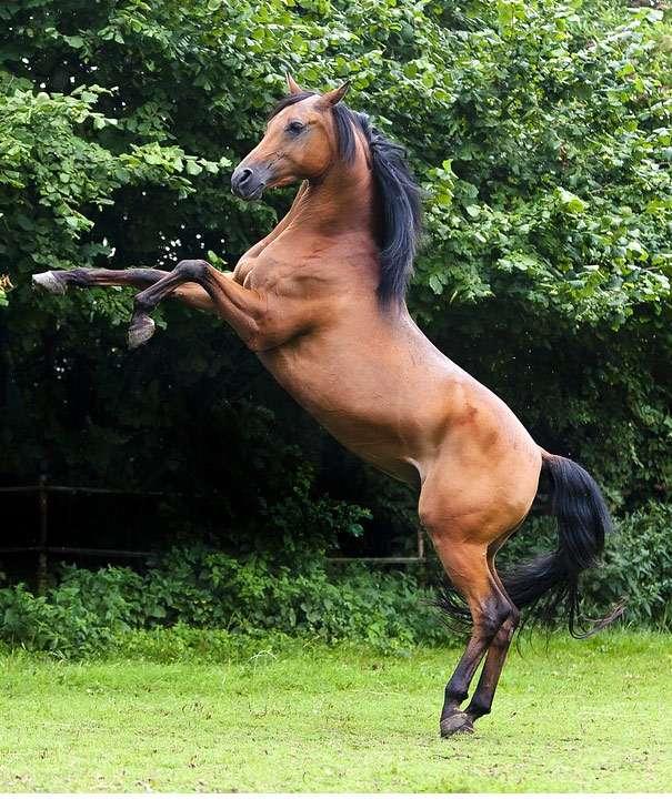 Арабская чистокровная лошадь — википедия переиздание // wiki 2