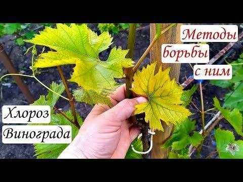 Хлороз винограда, лечение инфекционного хлороза у винограда