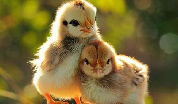 Развитие цыпленка в яйце по дням: как дышит и чем питается, фото