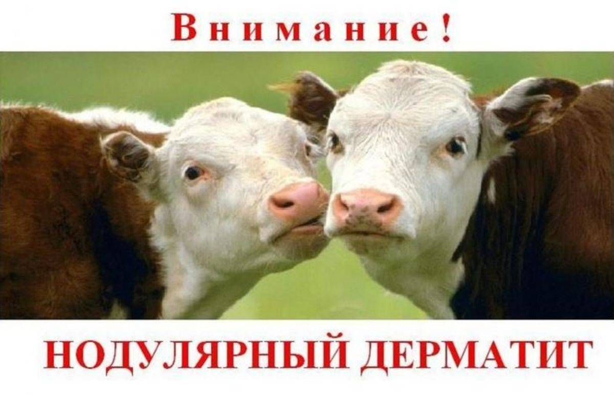 Методика профилактики и ликвидации нодулярного дерматита крупного рогатого скота