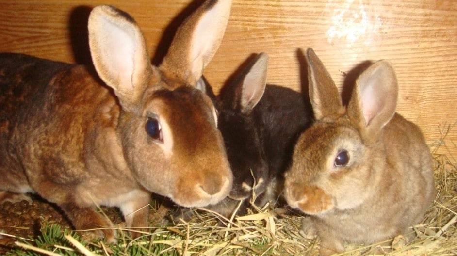 Вздутие живота у кролика лечение в домашних условиях