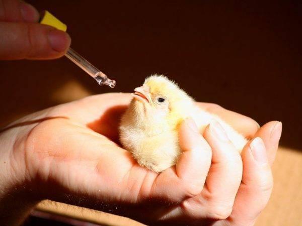 Об энрофлоне, рэнроколе: инструкция по применению (птица, цыпленок, бройлер)