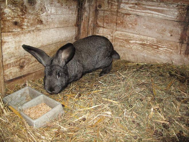 Можно ли кролику давать пшеницу: каким ещё зерном лучше кормить, какие пропорции