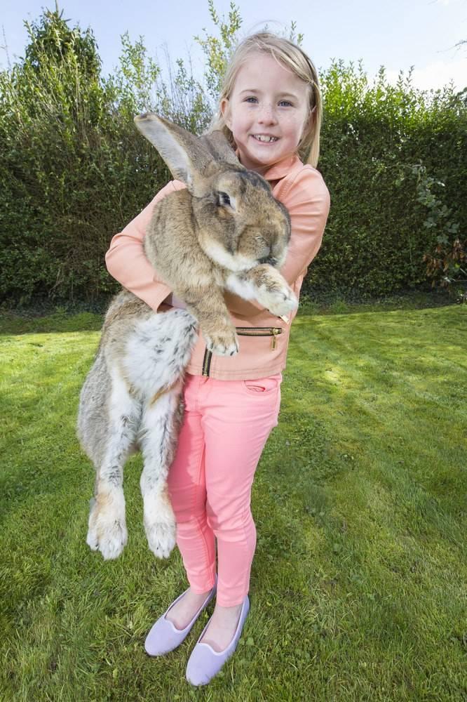 Серый великан (50 фото): порода кроликов, какой размер гиганта, какой маточник